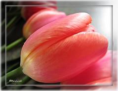 ~~ Tulips ~~ (Brenda Boisvert) Tags: pink flower macro tulips simplythebest perfectpetals concordians natureselegantshots explorewinnersoftheworld phoddstica brendamb nossasflores utstandingimages paulsplace
