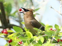 CEDAR WAXWING / JASEUR D'AMRIQUE / bombycilla cedrorum (Mononc' Paul) Tags: friends lasalle waxwing bombycillacedrorum naturesfinest eos30d jaseur thewonderfulworldofbirds