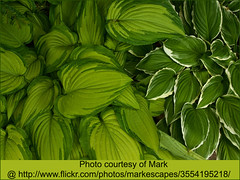 Two beautiful variegated Hostas. Photo courtesy of Mark @ http://www.flickr.com/photos/markescapes/3554195218/