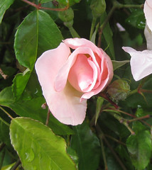 Queen Bess, I like these little buds, Roses in my backyard
