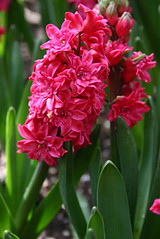 Double Hyacinth 'Hollyhock' (Alyce Taylor) Tags: pink red plant toronto ontario canada flower nature floral crimson bulb garden spring natural blossom gardening indoor double petal greenhouse fragrant bloom hollyhock scent hyacinth blooming featured doublehyacinth allensgardens