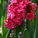 Double Hyacinth 'Hollyhock'