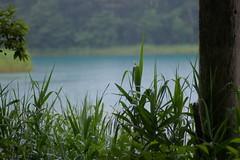 エメラルド色の水面とアシ(葦)