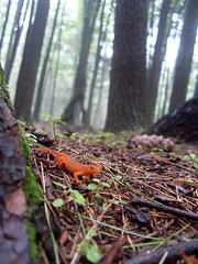 I am not a toy salamander.  (Explored!  Yay!) (knittinandnoodlin) Tags: orange wet rain fog moss woods pennsylvania salamander 365 lizards humid glowy dps sullivancounty mostbeautiful rickettsglenstatepark leapin placeonearth day1backatthestart