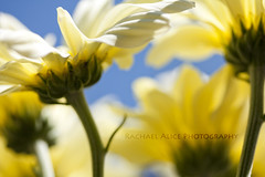 Bathed in Sunlight (redrach) Tags: blue sky sunlight colour macro green sunshine yellow closeup dof vibrant bathed dreamy 60mm chrysanthemums chysanthemum 450d rachaelalicephotography