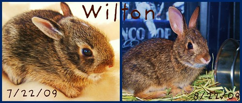 Wilton The Bunny