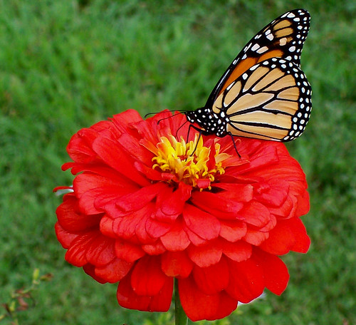 Beautiful Viceroy Butterfly on Flower