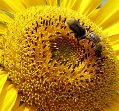 open for visitors (Eisgrfin (very busy)) Tags: flower nature yellow germany hannover gelb sunflower  visitor    sonnenblume  naturesfinest abigfave anawesomeshot top20spring mimamorflowers saariysqualitypictures eisgrfin theoriginalgoldseal