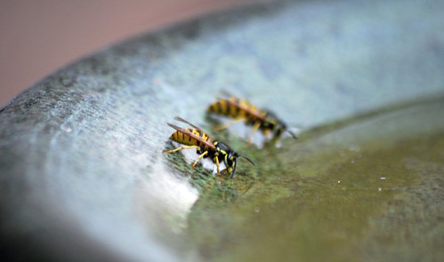 Wasps Drinking