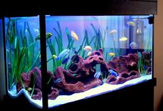 malawi tank 3 (Appleskatephoto) Tags: fish tank malawi cichlids ciclidos mbunas