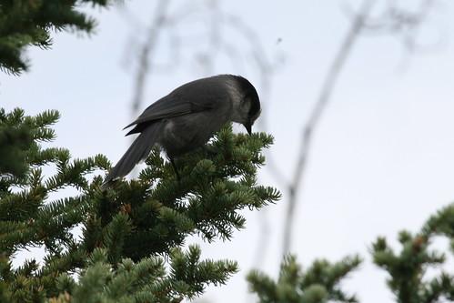 Perisoreus canadensis (Gray Jay)