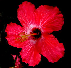 Glowing Red (Puzzler4879) Tags: nature powershot hibiscus 1001nights redflowers fragrantflowers perfectpetals citrit a580 allfromatoz excellentsflowers gemsofnature wonderfulworldofflowers mimamorflowers canona580 photosofqualitytosmileabout canonpowershota580 powershota580 hibiscuswonder mamasbloomers newgoldenseal mygearandme