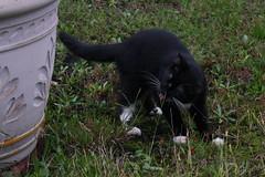 Eating Some Grass (cmcgough) Tags: cats georgia tuxedocats jinx