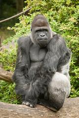 2011-05-29-12h22m36.272P2731 (A.J. Haverkamp) Tags: zoo gorilla arnhem thenetherlands burgerszoo dierentuin westernlowlandgorilla westelijkelaaglandgorilla canonef100400mmf4556lisusmlens httpwwwburgerszoonl bauwi dob19071990 pobapeldoornthenetherlands