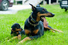 Let's look this way (ybmel) Tags: dog puppy duke doberman annabel