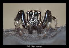 Salticidae Stacked - 18-06-2011 - MACRO (Daniel Piovesana) Tags: macro fauna lens spider jumping reverse lente aranha invertida salticidae sigma3570mm