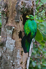 Pharomachrus auriceps (Primeval Nature) Tags: male green bird southamerica nature birds ecuador nest wildlife andes jag andean nesting quetzal trogon mindo pichincha pharomachrusauriceps goldenheadedquetzal quetzals trogonidae