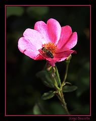 (Jorge Baucells) Tags: flower macro flor olympus bee abeja e510 zd uro 40150