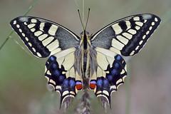 Come to Portugal? I'm in flight yet... (Ernestino Maravalhas (NoVDO)) Tags: macro portugal canon butterfly papillon borboleta mariposa soe papiliomachaon boticas 100comments theperfectphotographer goldstaraward