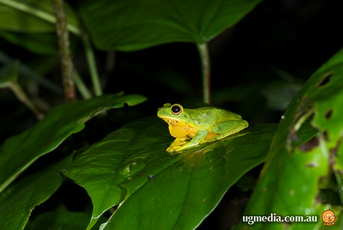 Orange-thighed frog (Litoria xanthomera)