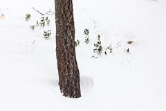 Snow, Leaf and Tree (briyen) Tags: snow tree leaf twig drift flickrchallengegroup