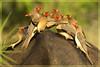 Buffalo Buffet (hvhe1) Tags: africa nature animal southafrica buffalo bravo wildlife capebuffalo interestingness2 oxpecker naturesfinest malamala synceruscaffer redbilledoxpecker specanimal hvhe1 hennievanheerden avianexcellence rattrays vosplusbellesphotos