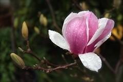 Magnolia (joeysplanting) Tags: magnolia magnoliaceae