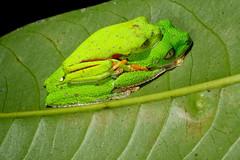 Amazon leaf frog (Santiago Ron) Tags: wild macro nature animal fauna canon ecuador amazon rainforest diversity amphibian frog toad frogs andes sapo amphibians rana herps biodiversity herpetology amazonia hulli anura amphibia anfibio hylidae phyllomedusa hylomantis
