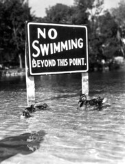 Mallard ducks swimming in front of warning sig...