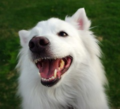 Smiling Niko (utski7) Tags: arizona dog pet sun cute love dogs funny sweet hund american pup niko spitz eskie iluvmydog
