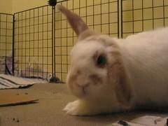 IMG_9492 (joandirk) Tags: rabbit cadbury lop minilop