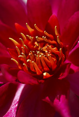 Intense (The Green Album) Tags: pink red orange flower catchycolors petals intense pond saturated vibrant stamen aplusphoto theunforgettablepictures rubyphotographer anuniverseofflowers holtgardens