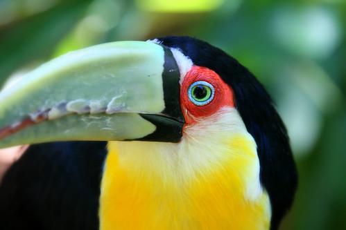 animals birds Paraná toucan favorites Ramphastos dicolorus Ramphastos Tucano-de-bico-verde