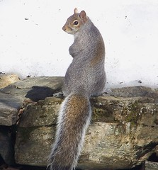 Honey, does this outfit make my butt look big? (nancylynnfree) Tags: squirrel vermont critter gray graysquirrel