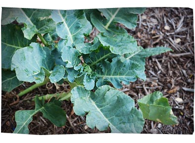 My Organic Garden - Broccoli