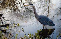 Blue Heron @ Alton Baker Park, Oregon (- Ral) Tags: nature oregon platinumheartaward