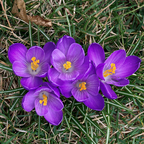 Missouri Botanical Garden (Shaw's Garden), in Saint Louis, Missouri, USA - purple crocuses