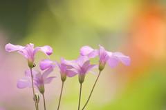 (shmarinuma) Tags: pink orange flower green sunshine explore allrightsreserved blueribbonwinner hbw abigfave anawesomeshot explore336 platinumheartaward inbalr