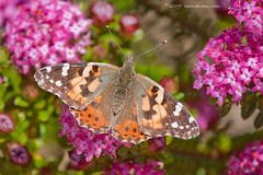 Attack of Painted Lady Butterfly (flopper) Tags: santacruz flower butterfly aboretum ucsantacruz paintedlady