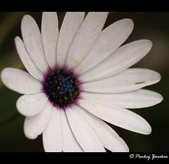 Travel Diary Pages. (Pankaj भटकंती Unlimited (pankajz.com)) Tags: travel white flower macro flora arboretum ooty pankajभटकंतीunlimited