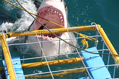 White Shark Diving Tours