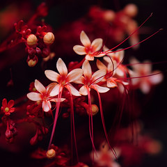 ~ Little Red Flowers ~ (Peem (pattpoom)) Tags: flowers red flores flower macro fleurs thailand nikon blumen chiangmai bunga fiori  blommor bloemen blomster bulaklak kwiaty hoa  blm iekler     kvtiny  pagodaflower    d700 blthanna nikkor105mmf28gedifafsvrmicro   kukkien virgokat