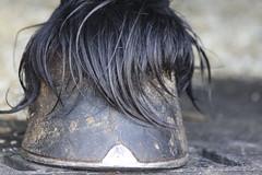 zoccolo (SimmoTor) Tags: horse fan mare cavalli cavallo stallion stallone paarden tiesto friesian friese keuring cavalla friesianhorse nero cavallofrisone staldeoergong hengstenkeuring tisto rypein cavallo