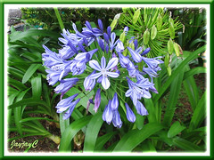 Agapanthus (African/Blue Lily, Lily of the Nile) - flowers and seedpods