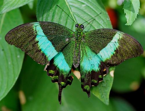 butterflies-Brooksde - 80