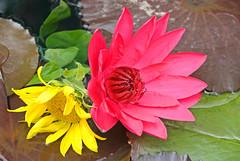 "Happy Together: Waterlily & Sunflower (Gary Grossman) Tags: flowers beautiful oregon happy waterlily blossoms sunflower tropicalwaterlily goldstaraward ""nikonflickraward"""