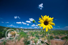 Wild Sunflower Under Blue Skies of the Utah Desert (jimgoldstein) Tags: blue wild sky cloud southwest flower macro nature yellow outside utah desert outdoor sunflower wildflower isolated radial jmggalleries jimmgoldstein canon1dsmarkiii