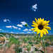 Wild Sunflower Under Blue Skies of the Utah Desert