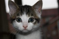 Punky (Ruamh) Tags: cats pets cute animals cat kitten kittens punky supershot kissablekat bestofcats ruamh