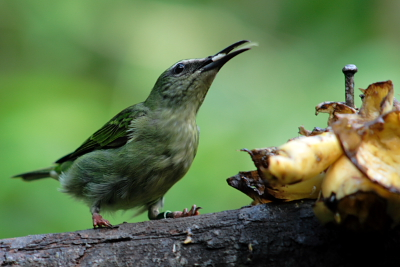 Bird eating banana